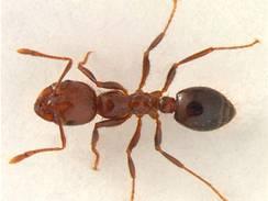 Staří a zranění mravenci dělají rizikové práce