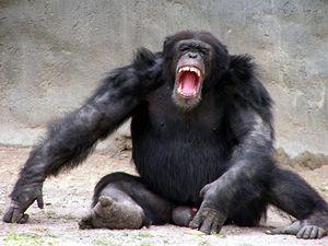 http://i.lidovky.cz/06/043/lncl/BAT128da7_chimpanzee.jpg