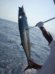 Chcete ho k večeři, pane? Úlovek menšího exempláře ryby wahoo.