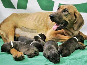 Klonovaná štěňata se narodila náhradní matce.