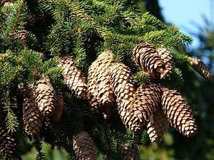 Picea abies (smrk ztepilý).