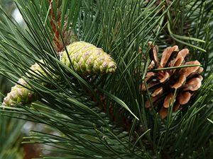 Pinus nigra (borovice černá).