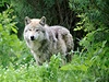 Vlk (ilustra�ní foto) | na serveru Lidovky.cz | aktu�ln� zpr�vy