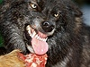Hladový vlk (ilustra�ní foto). | na serveru Lidovky.cz | aktu�ln� zpr�vy