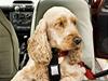Pes v aut� - ilustra�ní foto | na serveru Lidovky.cz | aktu�ln� zpr�vy