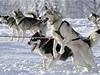 Tra� zvl�dl nejrychleji musher V�t Kol�tor se sv�mi osmi psy. �ty�i etapy z�vodu ujel za 11 hodin a 35 minut.