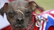 Nejo�kliv�j�ím psem se stal �ínský chocholatý pes z Británie jménem Mugly | na serveru Lidovky.cz | aktu�ln� zpr�vy