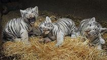 Bílá tyg�í mlá�ata, která se v liberecké zoo narodila 1. �ervence, jsou dva same�ci a jedna sami�ka.  | na serveru Lidovky.cz | aktu�ln� zpr�vy