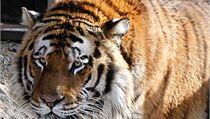 V zoologické zahrad� v Kolín� nad Rýnem tygr zabil svou o�et�ovatelku a pak uprchl z výb�hu.  | na serveru Lidovky.cz | aktu�ln� zpr�vy