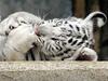 Tyg�í mlád� v liberecké zoo. | na serveru Lidovky.cz | aktu�ln� zpr�vy