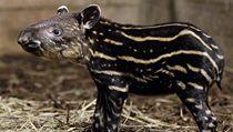 Mlád� tapíra jihoamerického | na serveru Lidovky.cz | aktu�ln� zpr�vy