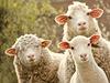 Ovce | na serveru Lidovky.cz | aktu�ln� zpr�vy