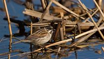 The marsh-loving reed bunting gets low marks for sexual loyalty � but a distant US cousin holds the title of world�s most promiscuous bird | na serveru Lidovky.cz | aktu�ln� zpr�vy