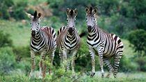 Zebra stepní (Equus quagga) je nejroz�í�en�j�ím druhem zeber. Její vzácn�j�í poddruh, zebra kvaga (Equus quagga quaga), který m�l pruhování jen na hlav� a na krku, dnes u� vyhynul. | na serveru Lidovky.cz | aktu�ln� zpr�vy