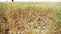V Rusku odhadují tamní experti v n�kterých oblastech pokles hektarových výnos� p�enice a� o polovinu (na snímku suchem a kobylkami zdevastovaný lán p�enice u Stavropolu). | na serveru Lidovky.cz | aktu�ln� zpr�vy
