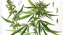 Zakleté rostlinky konopí (cannabisu) doprovázejí lidstvo nejmén� od �as� Hérodotových.   na serveru Lidovky.cz   aktu�ln� zpr�vy