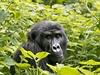 Gorily jsou hlavním turistickým lákadlem Udandy. | na serveru Lidovky.cz | aktu�ln� zpr�vy