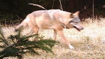Vlk zachycený fotopastí na Šluknovsku