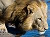 Lvi se museli v delt� Okavango p�izp�sobit naprosto odli�ným p�írodním... | na serveru Lidovky.cz | aktu�ln� zpr�vy