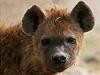 Hyeny se starají o zdraví kráteru Ngorongoro. | na serveru Lidovky.cz | aktu�ln� zpr�vy