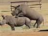 D�le�itá ale byla na�e fascinace sexuálním aktem nosoro�c�, kte�í se v�bec... | na serveru Lidovky.cz | aktu�ln� zpr�vy