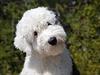 Bobtail, aneb Old English Sheepdog (staroanglický ov�ácký pes). | na serveru Lidovky.cz | aktu�ln� zpr�vy