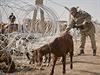 Tureck� voj�k se sna�� vyprostit kozu z ostnat�ch dr�t� na turecko-syrsk�...