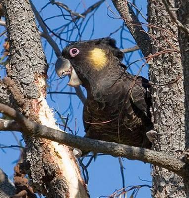 Švehla - Austrálie - Kakadu žlutoocasý 2
