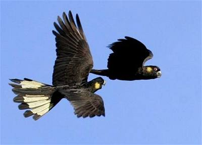 Švehla - Austrálie - Kakadu žlutoocasý 3