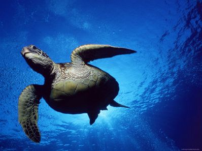 Green-Turtle-Swimming-Hawaii-Pacific-Ocean-Underside-View