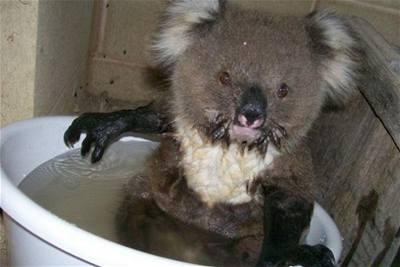 Švehla - Austrálie - žíznivý koala 1