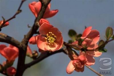 Tůma - květy 2