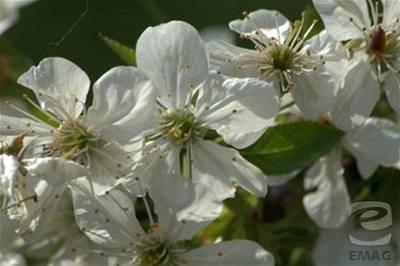 Tůma - květy 3