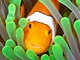 vehla - Austrlie - clownfish 1