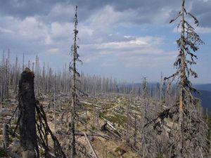 Bursíkem založený prales 3