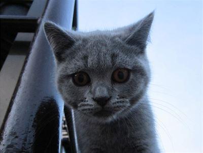 Britské kotě zvané Provokatér, autor Vave