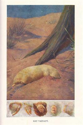 Brehmův život zvířat - Krt vačnatý, zdroj A. Uhlíř