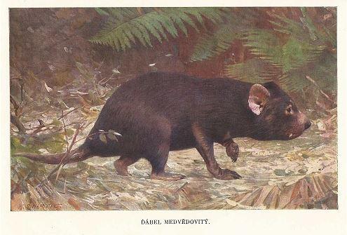 Brehmův život zvířat - Ďábel medvědovitý, zdroj A. Uhlíř