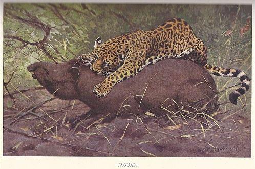 Brehmův život zvířat - Jaguár, zdroj A. Uhlíř