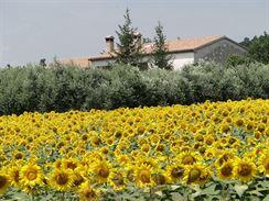 Slunečnicové pole