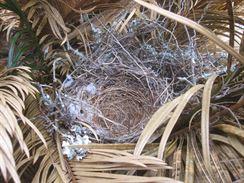 5 Drozdice se do prázdného hnízda nevrátila