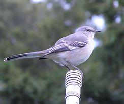 Mockingbird - drozd mnohohlasý