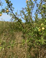 Z větší části očesaná jabloň lesní