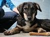 Pes, kterého přivezli čeští vojáci z Afghánistánu